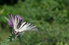 A butterfly named Scarce Swallowtail, on a flower