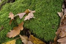 Anomodon Moss