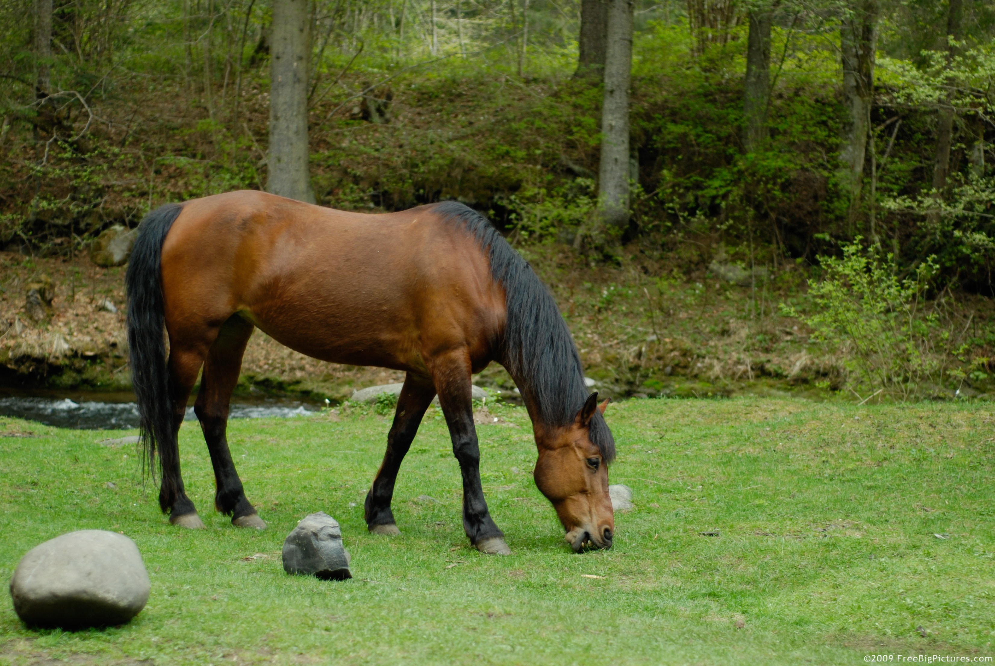 Image of Bay Horse Grazing
