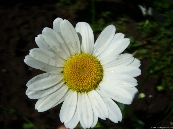Photo of Bellis Perennis is a delightful picture to free use