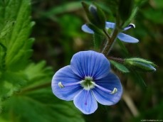 Photo of blue colored wildflower is a lovely free picture