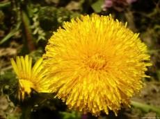 Bright Dandelion