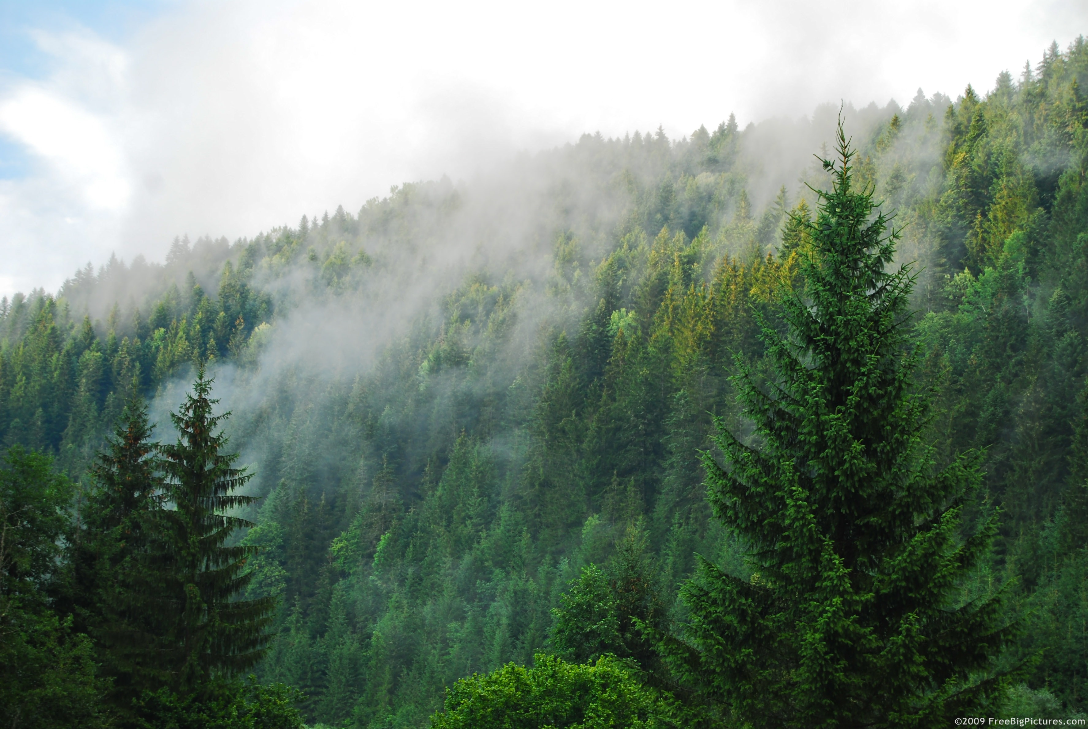 High resolution forest pictures conifers is a printable image