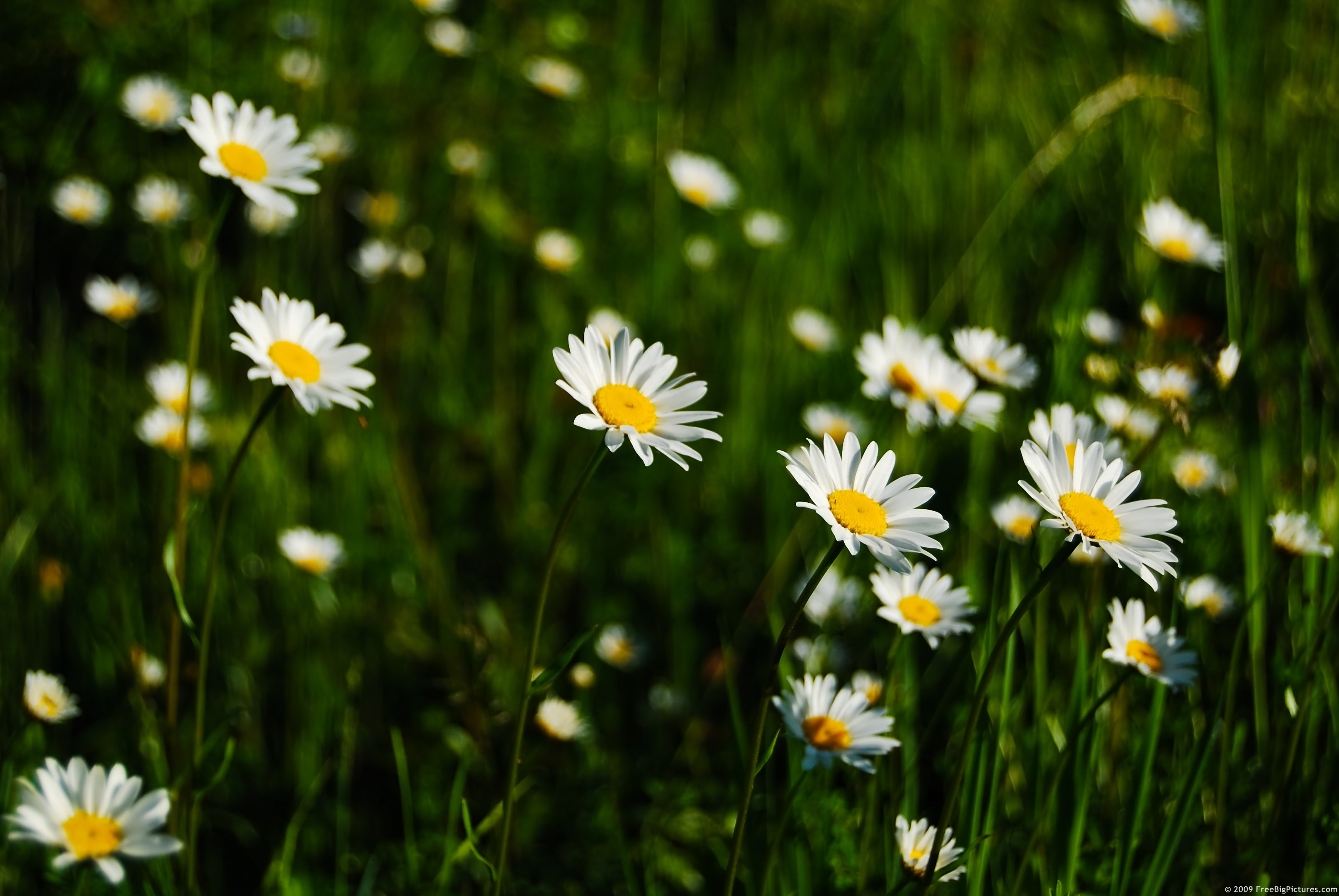 daisies field, Beautiful flower