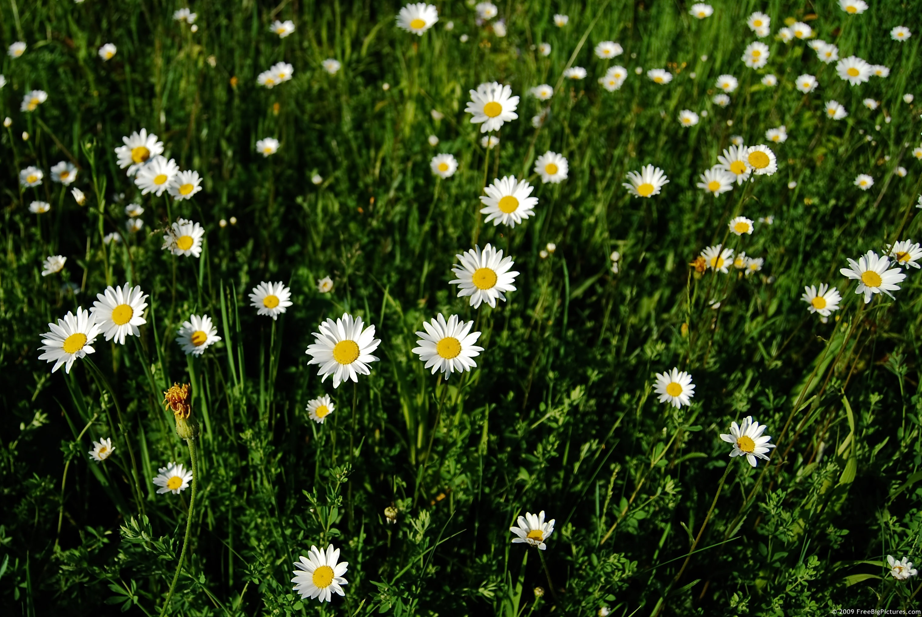 daisies flowers, Beautiful flower