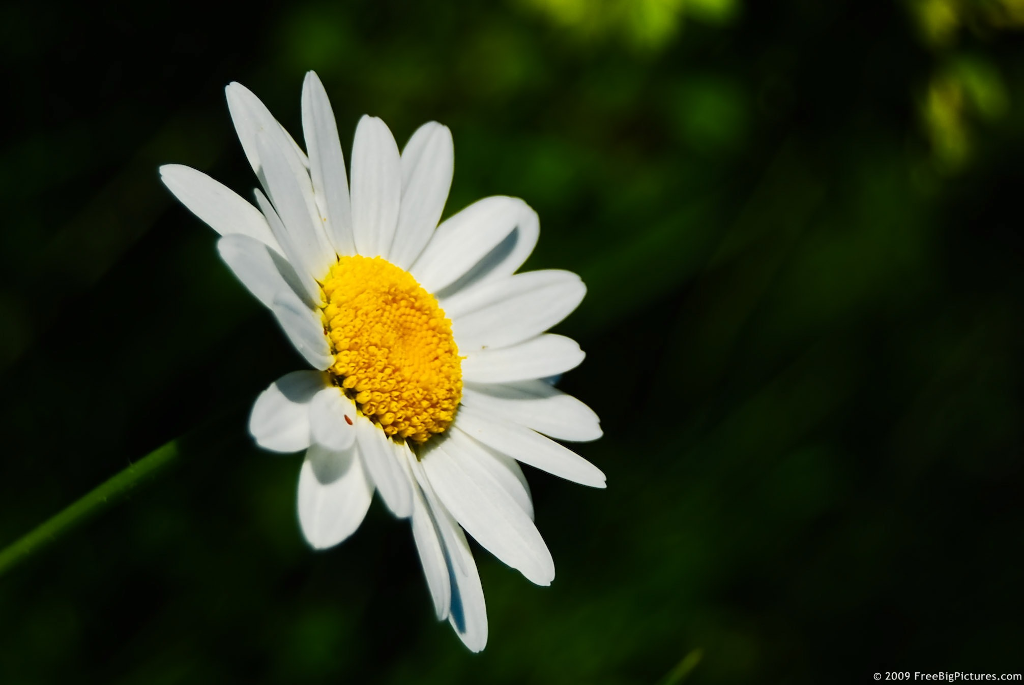 daisy flower, Natural flower