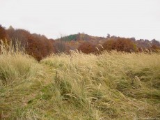 A long, hairy, dry grass in a meadow in the middle of the autumn. Is not a sunny image but the colors of the nature are warm, situated between a light yellow and rusty brown.