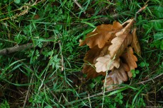 On the green grass, the color of a few dry, rusty oak leaves are in a pleasant contrast and thus is created an interesting image