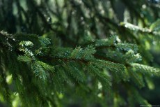 Fir Twigs