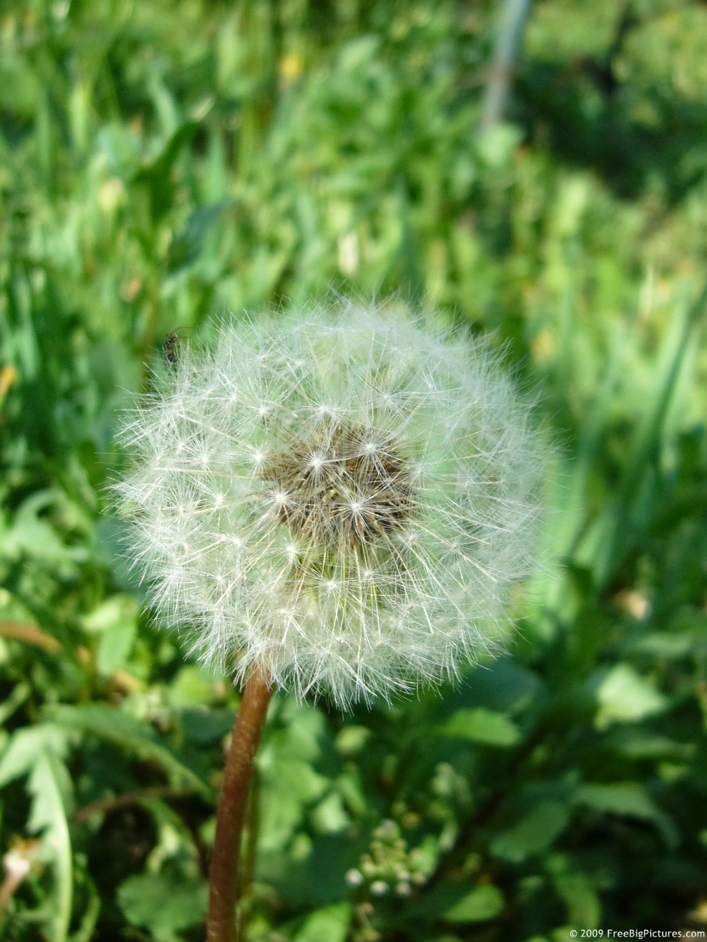fuzzy blow ball