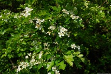 Hawthorn Blooming