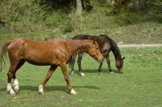 Horses Grassland