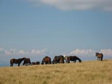 Horses Herd