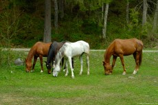 Brown and white horses, feeding with fresh grass, on a green pasture