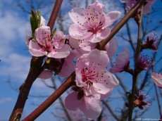 Picture of Peach Flowering is a lovelly image free offered