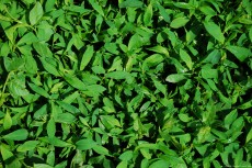 Image of birdweed - Polygonum aviculare