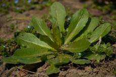 Prickly Lettuce