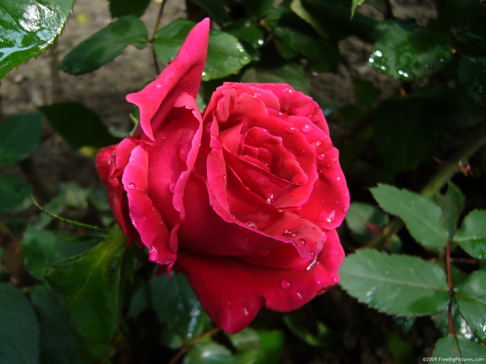 Photo of rose flowering is a pleasant picture available to download