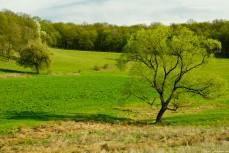 Spring Oak