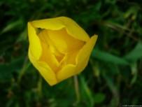 Garden Tulip