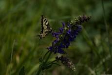 Papilio Linnaeus