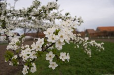 Picture of the apple with white flowers