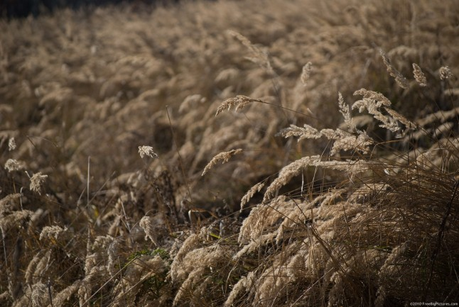 A field of grass bended on the wind, in the brown shades of autumn