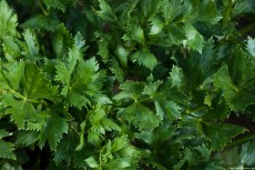 Celery leaves – indicated in hypertension, diabetes mellitus