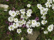 Cerastium arvense - a plant used as an antihemoragic in past