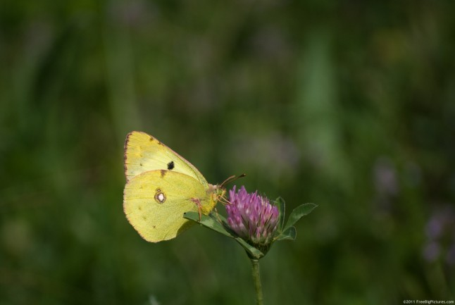 Colia Croceus butterfly (Clouded Yellow)