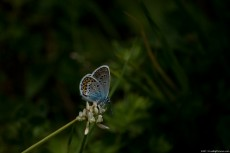 Common Blue - a small butterfly widespread in Europa