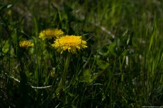 Dandelion, a common herb spread on North America and Eurasia