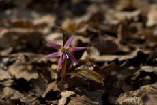 A Dogtooth violet on the soil of a deciduous forest in spring