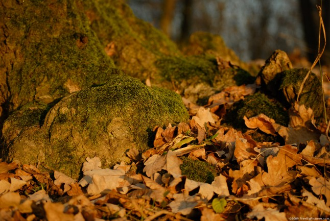 Dried oak leaves at the base of a tree covered with moss