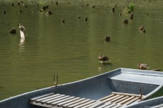 Ducks swimming and boats on the Red Lake