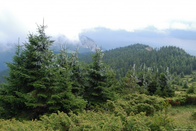 Evergreen trees in a forest at the first snow, under a ceiling of clouds