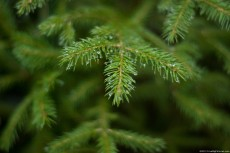 A fir branch with a lot of water drops on it