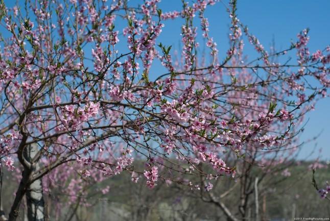 Flowering Peach Peach Tree Flowers