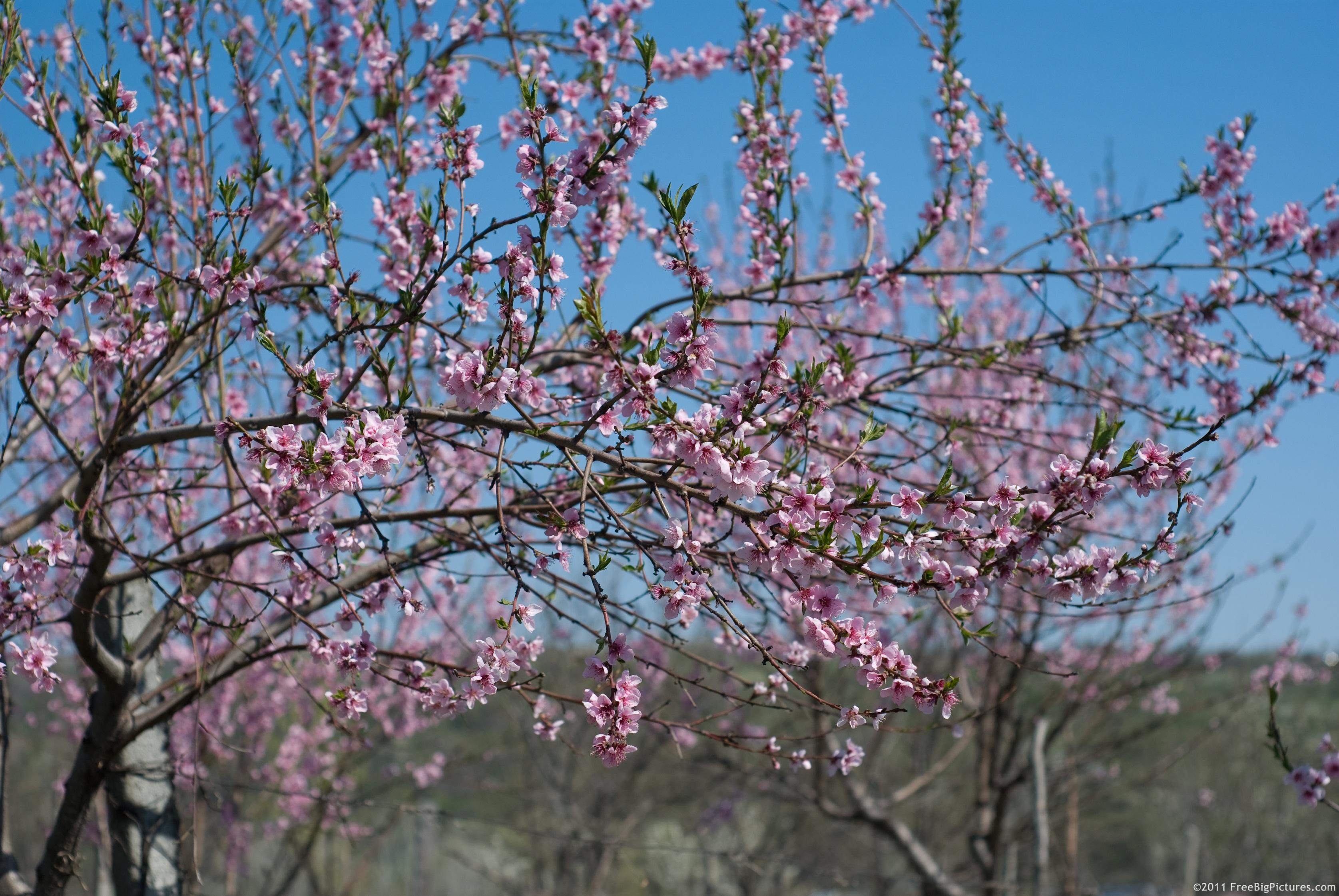 Flowering peach for The peach tree