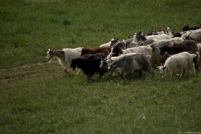 A herd of goats on pasture in a hot day