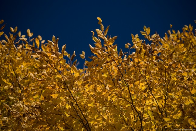 Golden trees leaves in contrast with the blue and clean sky
