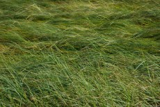 A green field of grass, bent by the wind