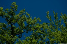 A beautiful contrast between the green foliage of trees and a pure sky