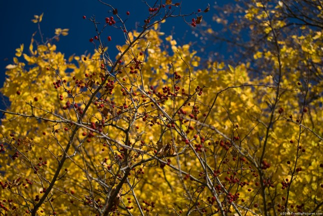 Red fruits on a Hawthorn branch with a yellow deciduous forest behind