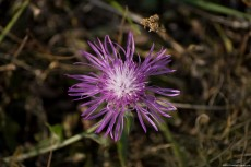 Knapweed, a plant with many flowers