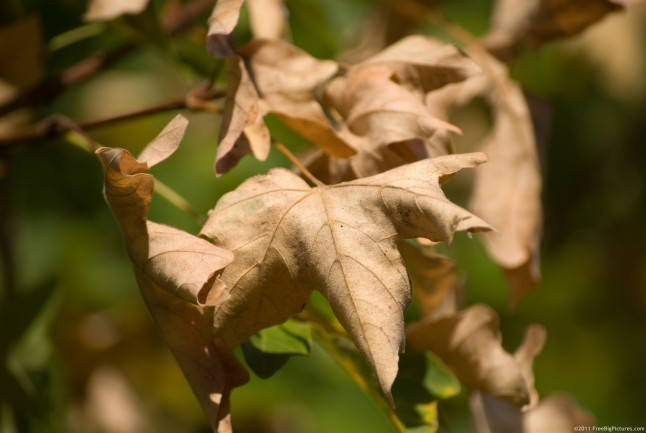 Dry leaves of maple tree in autumn