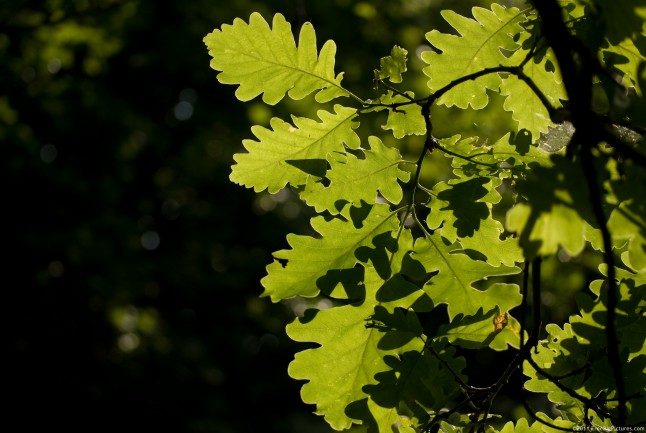 Oak leaves in the light of afternoon