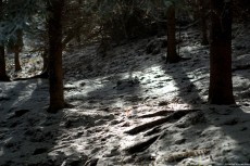 Light snow on a fir forest bathed in sun