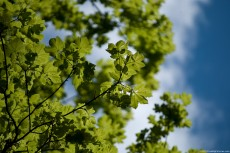 Early green leaves on a branch of maple