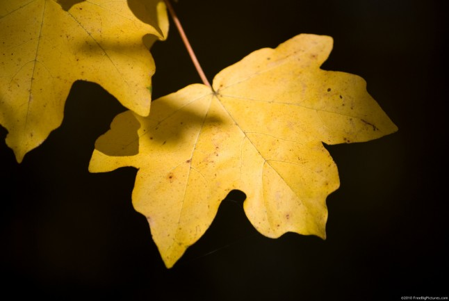 Maple leaf in golden light